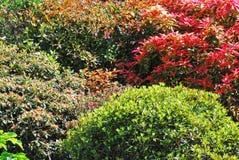 Arbustos coloridos Imagen de archivo libre de regalías