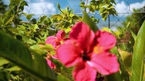 Arbustos com as flores cor-de-rosa do hibiscus vídeos de arquivo