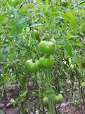 Arbustos com tomates verdes Fotos de Stock Royalty Free