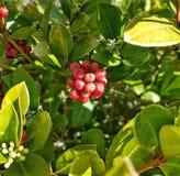 Arbustos con las bayas rojas Imagen de archivo libre de regalías