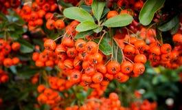 Arbustos con las bayas rojas, fondo colorido del otoño, primer imagen de archivo