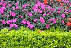 Arbustos con las flores rosadas Imágenes de archivo libres de regalías