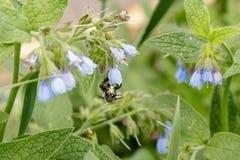 Arbustos con las flores serenas hermosas en las cuales una avispa de la abeja es si Fotos de archivo libres de regalías