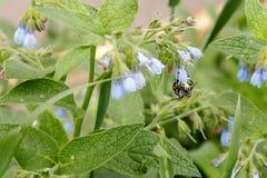 Arbustos con las flores serenas hermosas en las cuales una avispa de la abeja es si Imagen de archivo