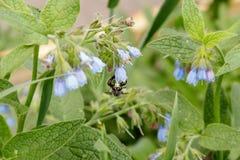 Arbustos con las flores serenas hermosas en las cuales una avispa de la abeja es si Imagen de archivo libre de regalías