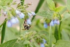 Arbustos con las flores serenas hermosas en las cuales una avispa de la abeja es si Fotos de archivo