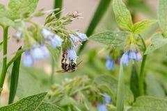 Arbustos con las flores serenas hermosas en las cuales una avispa de la abeja es si Fotografía de archivo