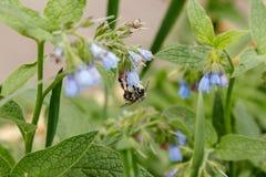 Arbustos con las flores serenas hermosas en las cuales una avispa de la abeja es si Fotografía de archivo libre de regalías
