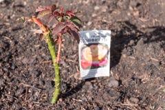 Arbustos cor-de-rosa novos plantados no jardim, em um lado imagem de stock