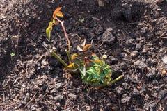 Arbustos cor-de-rosa novos plantados no jardim, em um lado fotos de stock royalty free