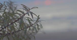 Arbustos cubiertos con la sal en el mar Báltico metrajes