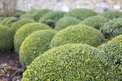 Arbustos da caixa do Topiary Fotografia de Stock