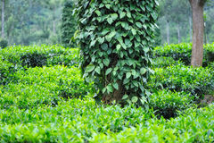 Arbustos da pimenta preta imagens de stock