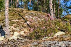 Arbustos da urze Imagem de Stock