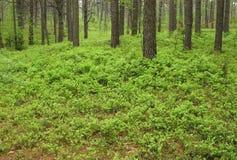Arbustos da uva-do-monte na madeira de pinho foto de stock