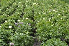 Arbustos das batatas com as flores nas camas Fotos de Stock Royalty Free