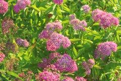Arbustos das flores cor-de-rosa que florescem nas hortaliças sunlight Fundo natural Bokeh Foto de Stock