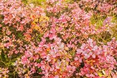 Arbustos de arándano con las hojas rojas Foto de archivo libre de regalías