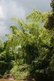 Arbustos de bambú Imagen de archivo libre de regalías