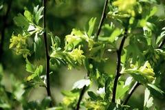 Arbustos de corinto preto de florescência na mola, flores amarelas pequenas contra um fundo da folha verde imagens de stock