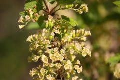 Arbustos de corinto vermelho Apenas chovido sobre foto de stock royalty free