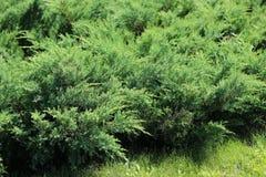 Arbustos de enebro imagen de archivo libre de regalías