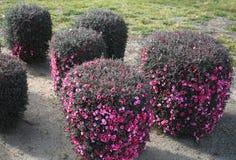 Arbustos de florescência aparados Fotos de Stock Royalty Free