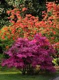 Arbustos de florescência da azálea fotografia de stock royalty free