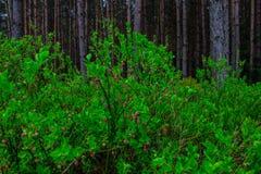 Arbustos de florescência da uva-do-monte no fundo da floresta fotos de stock