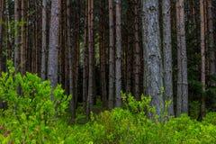 Arbustos de florescência da uva-do-monte no fundo da floresta foto de stock