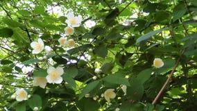 Arbustos de florescência do jasmim da primavera vídeos de arquivo