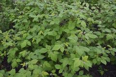 Arbustos de frambuesa de los almácigos Imagenes de archivo