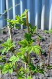 Arbustos de frambuesas jovenes en el jardín imagen de archivo