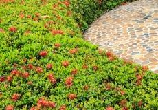 Arbustos de Ixora rojo Imagen de archivo