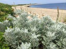 Arbustos de la duna de la playa Fotografía de archivo libre de regalías