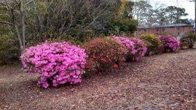 Arbustos de la flor Imagenes de archivo