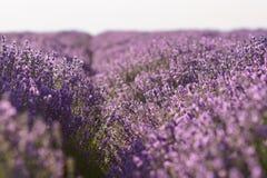 Arbustos de la flor de la lavanda en fila en campo Imagen de archivo