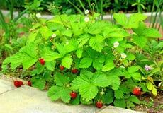Arbustos de la fresa salvaje Foto de archivo libre de regalías