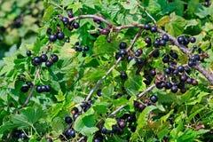 Arbustos de la grosella negra Fotografía de archivo