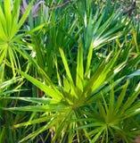 Arbustos de la palma Foto de archivo libre de regalías