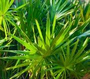 Arbustos de la palma Imagen de archivo