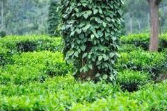Arbustos de la pimienta negra Imagenes de archivo