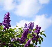 Arbustos de lila contra el cielo Imagen de archivo libre de regalías