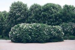 Arbustos de lila hermosos imagen de archivo libre de regalías