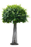 Arbustos de los árboles aislados en el fondo blanco Fotos de archivo