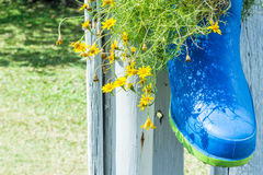 Arbustos de margarita amarillos en botas Foto de archivo libre de regalías