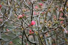 Arbustos de membrillo de florecimiento Ramas y flores foto de archivo
