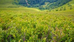 Arbustos de mirtilo Imagem de Stock Royalty Free