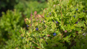 Arbustos de mirtilo Imagem de Stock