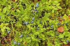 Arbustos de mirtilo que crescem na floresta imagens de stock royalty free
